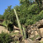 Le grand cactus des Caraibes